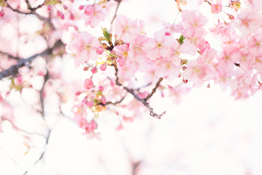 櫻薫る午後
